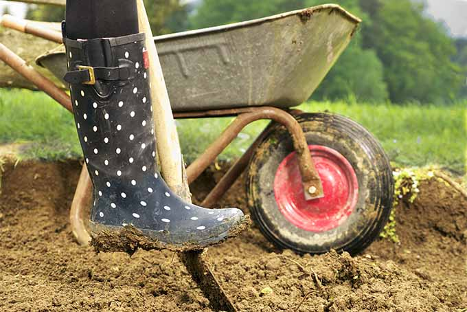 A woman wearing black rubber boots with white polka dots pushes a metal shovel with a wooden handle into the earth with her foot, with a black wheelbarrow with a red wheel in the background.