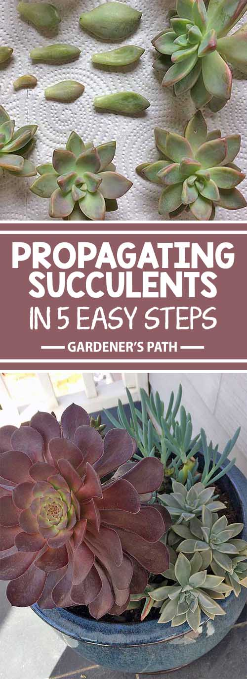 Are you looking for an affordable way to xeriscape with succulent plants? Create an enchanting low-maintenance array of colors, shapes, and textures by purchasing one of each of your favorites, and propagating the rest yourself. Learn how with easy instructions from your friends at Gardener's Path.
