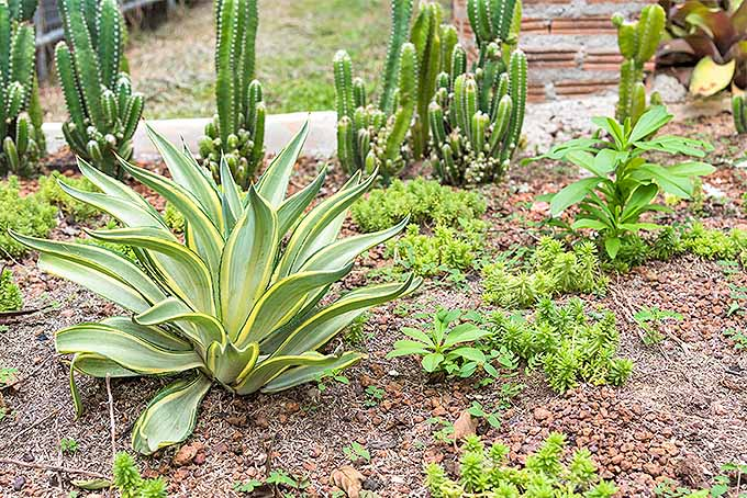 A vibrant desert garden, with succulents and cacti planted in the ground after being divided to start new plants. | Gardenerspath.com