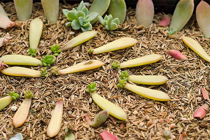Propagating succulents at home is simple, if you follow this method to start your new plants. | Gardenerspath.com