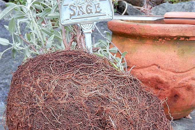 A root bound sage plant, ready for some sprucing up in the spring. | GardenersPath.com