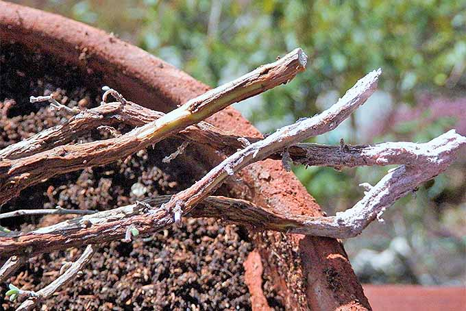Scrape stems and dip them in rooting hormone to propagate woody herbs. | GardenersPath.com