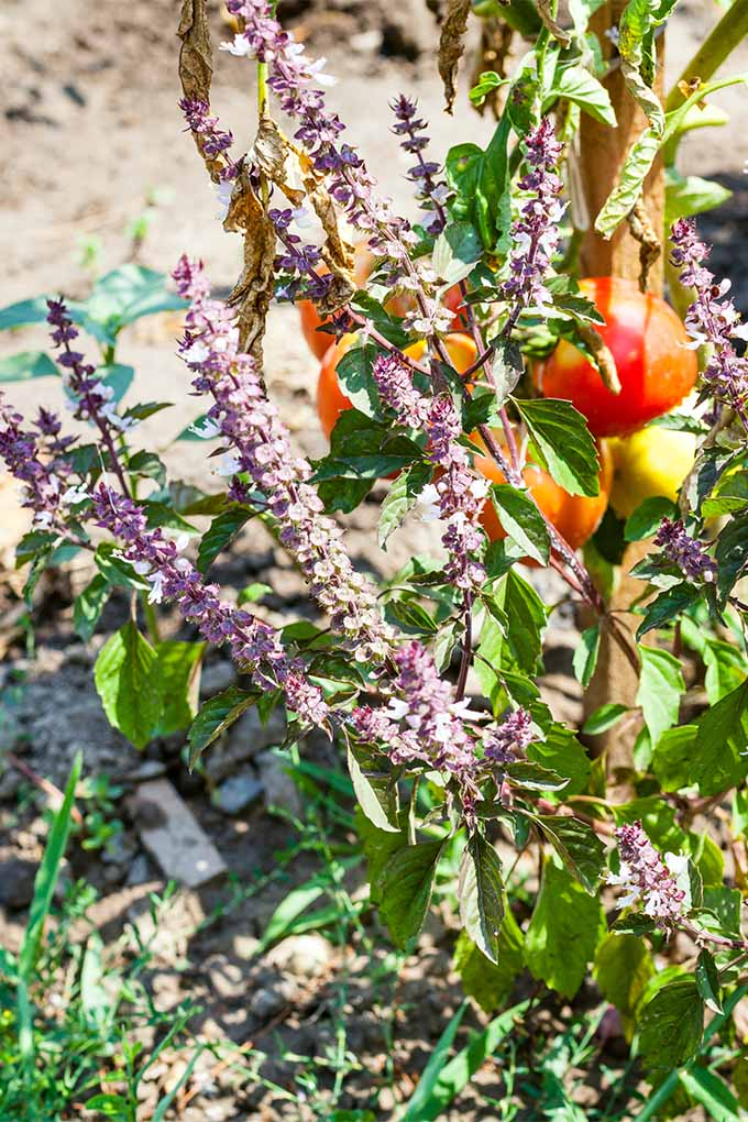 Companion planting is an easy way to bring pollinators to your vegetable garden. For more tips, check out our post for beginners (or pin it for later!) : https://gardenerspath.com/how-to/beginners/first-vegetable-garden/