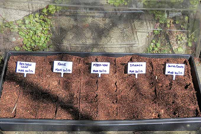 Lettuce seedlings in trays, started outdoors. | Gardenerspath.com
