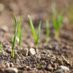 Easy Onion Cultivation At Home | GardenersPath.com