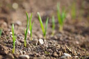 How to Grow and Care for Bulb Onions