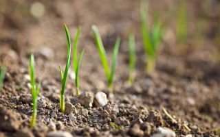 From Seed to Table: The Art of Onion Cultivation