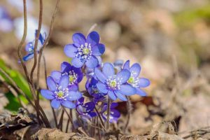 11 Native Blue Wildflowers for the Garden