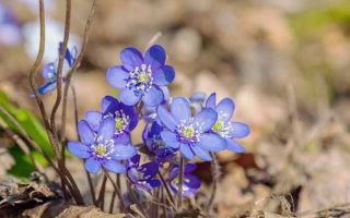 Blue Flowers for the Garden | GardenersPath.com