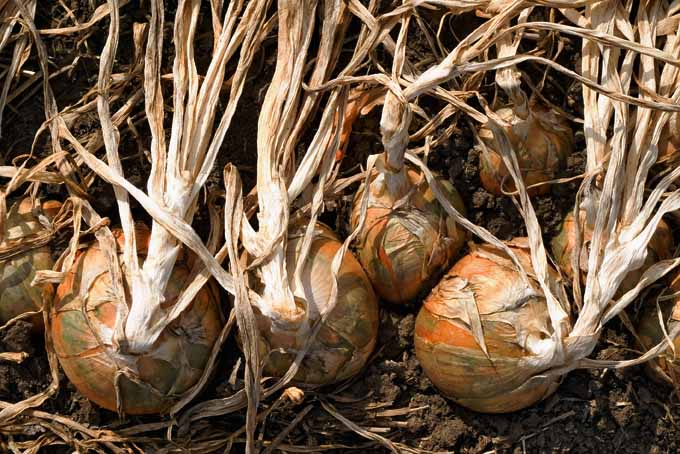 Easy Tips On Onion Cultivation For Your Garden | GardenersPath.com