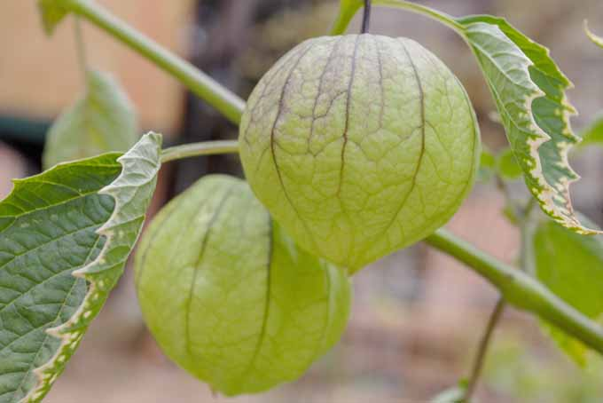 Close up of green tomatillos on the vine.