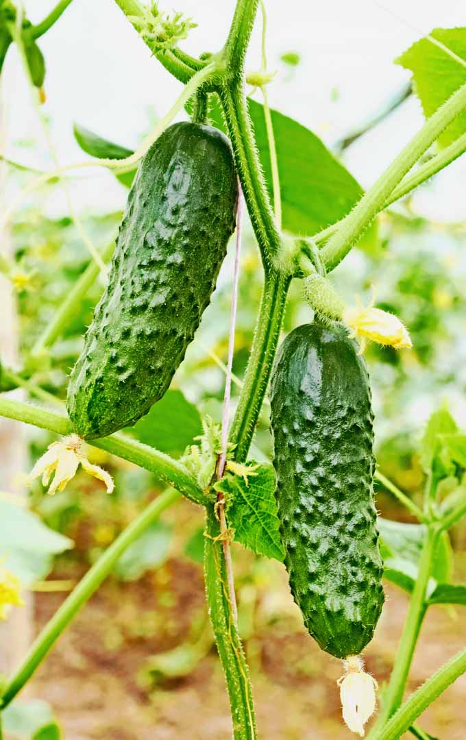 Do you love cucumbers? Learn to grow them in your backyard now: https://gardenerspath.com/plants/vegetables/cucumbers/