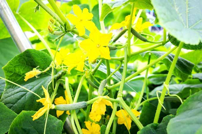 How To Grow Cucumber In Your Garden   GardenersPath.com