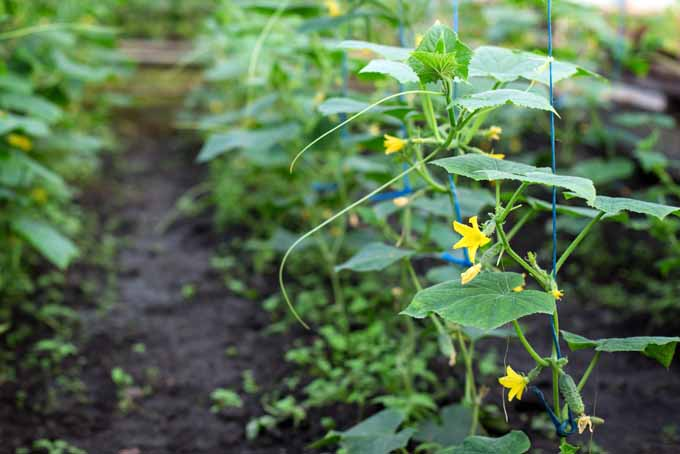 How To Grow Cucumbers In Your Backyard | GardenersPath.com