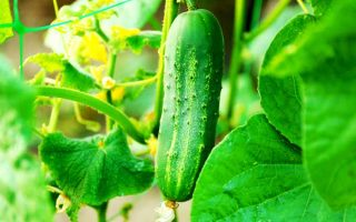 Easy Tips On How To Grow Cucumbers | GardenersPath.com