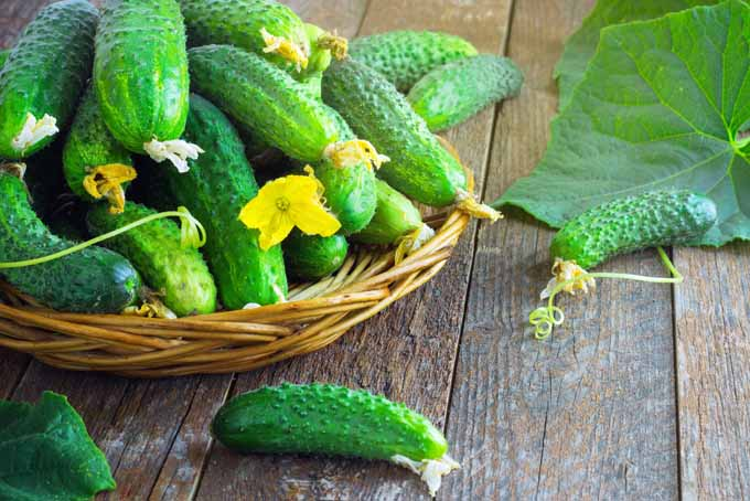 Grow Cucumbers In Your Garden All Season | GardenersPath.com