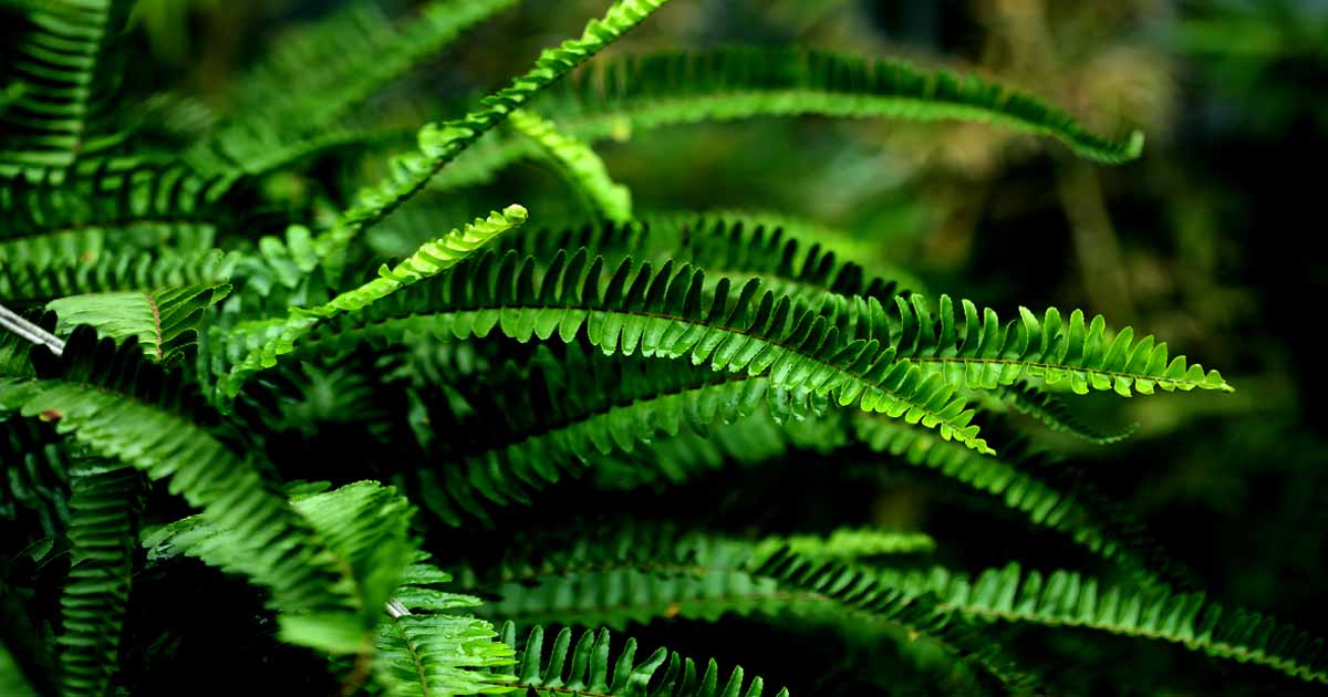 How To Grow Ferns Add A Touch Of Jurassic Park To Your Garden