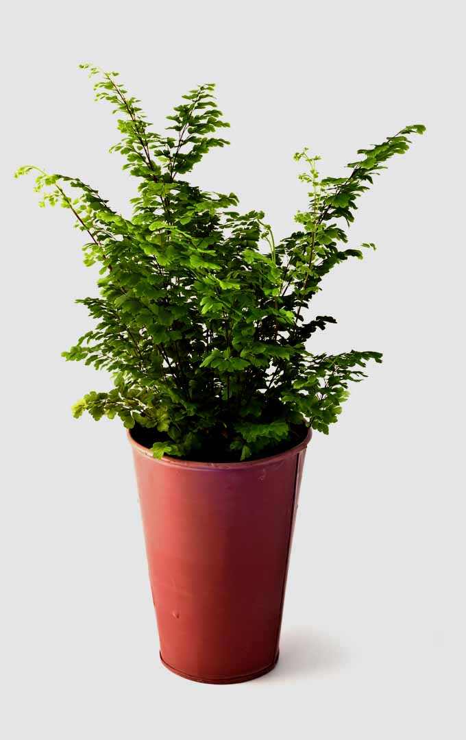 Do you know that ferns are easy to grow but have lots of peculiarities? Know more about this interesting plant now: https://gardenerspath.com/plants/perennial/how-to-grow-ferns/