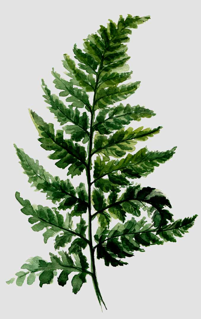 Do you like to grow ferns indoors? Learn more about this ancient beauty: https://gardenerspath.com/plants/perennial/how-to-grow-ferns/