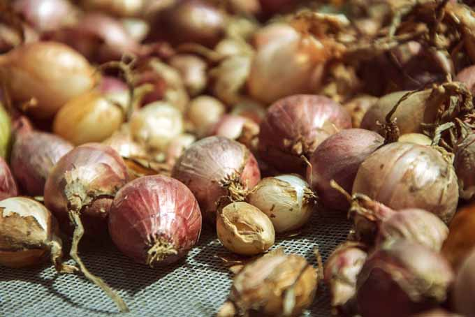 Make Onion Cultivation With These Tips | GardenersPath.com