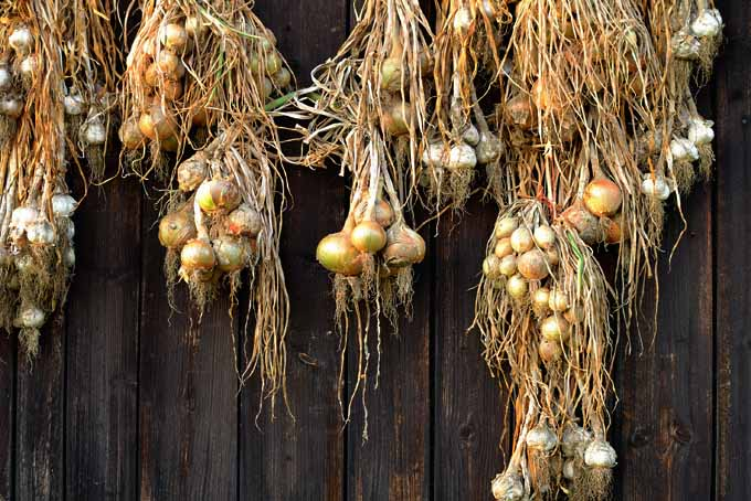 Easy Onion Cultivation And Drying | GardenersPath.com