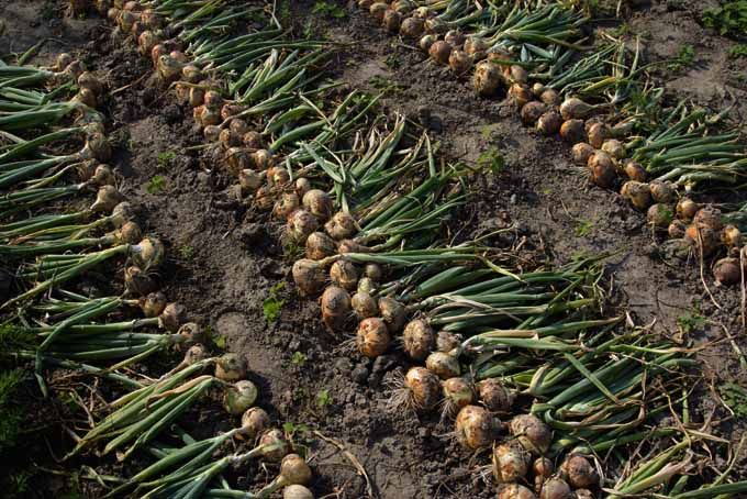 Easy Tips On Onion Cultivation And Harvesting | GardenersPath.com