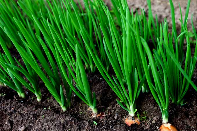 Easy Onion Cultivation For Your Garden | GardenersPath.com
