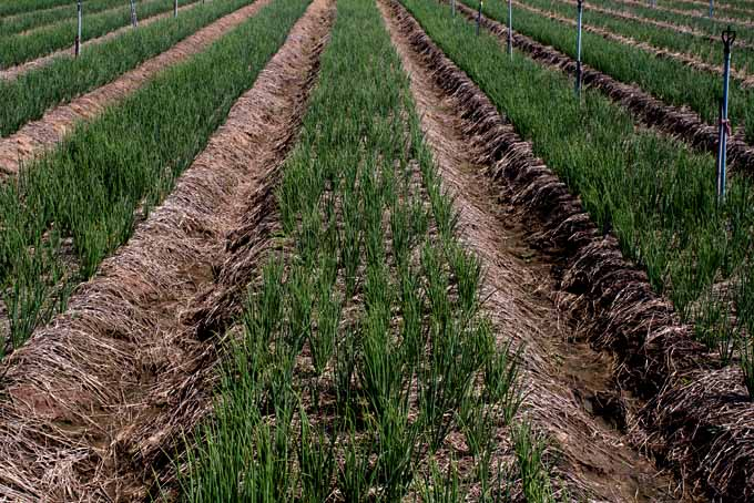 Making Onion Cultivation At Home Easy | GardenersPath.com