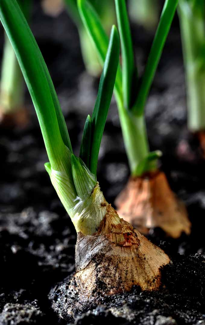 Do you like the savory taste of onions in your cooking and want to be able to grow them at home? Try these easy onion cultivation tip now: https://gardenerspath.com/plants/vegetables/grow-onions/