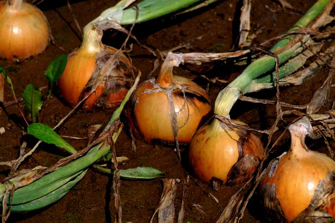 Onion Cultivation And Harvesting Tips | GardenersPath.com