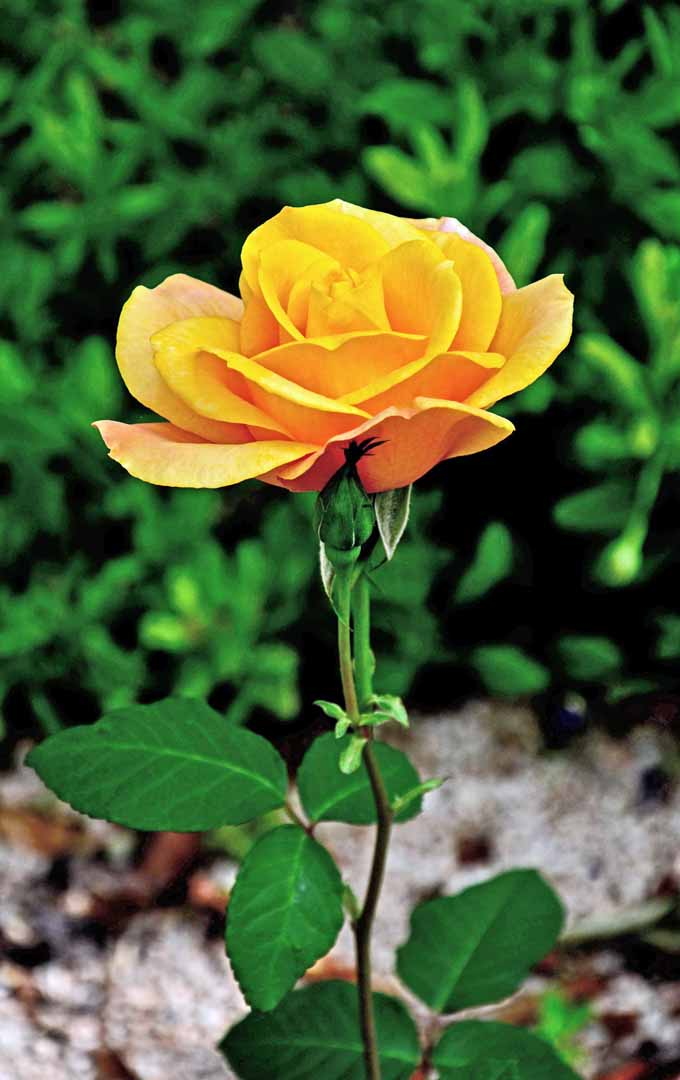 Do you want to know how to prune those rose bushes like a pro? Learn these easy tips now: https://gardenerspath.com/how-to/pruning/tips-for-pruning-roses/