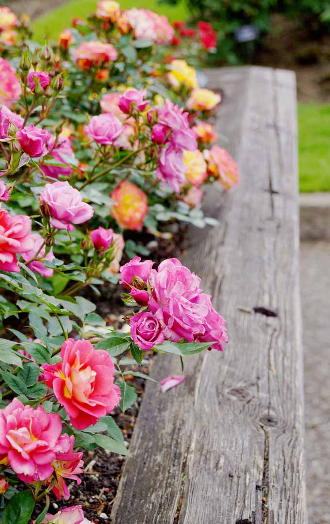 Do you want to get the perfect rose blooms all the time? Learn how to properly prune these beauties now: https://gardenerspath.com/how-to/pruning/tips-for-pruning-roses/