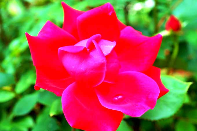 5 Tips for Pruning Roses | GardenersPath.com