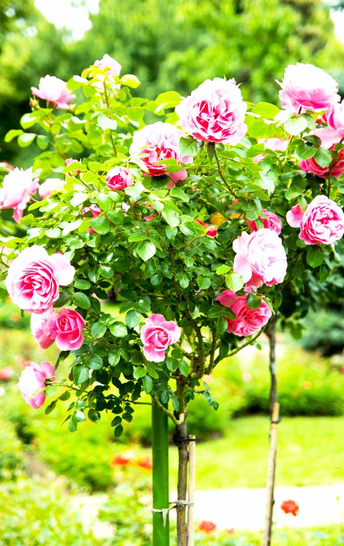 Isn't it amazing to look at tall rose bushes with multiple blooms? Make your roses look at its best with these easy tips now: https://gardenerspath.com/how-to/pruning/tips-for-pruning-roses/