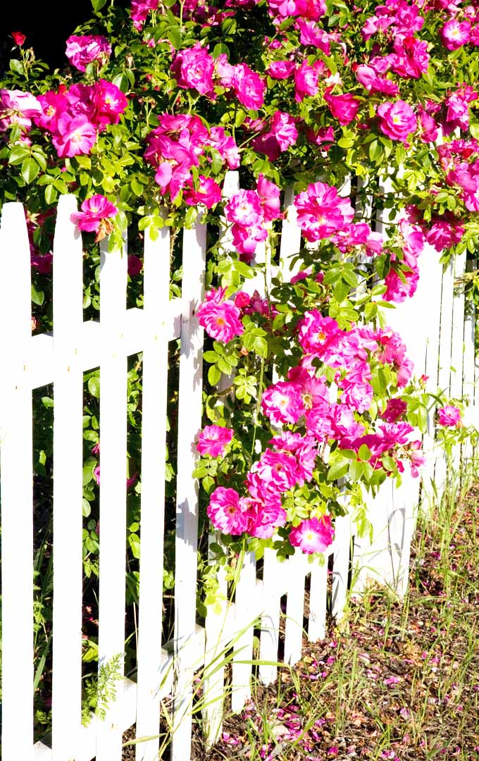Have you ever wondered how other gardens have beautiful blooming roses? Learn more about how pros prune their roses here: https://gardenerspath.com/how-to/pruning/tips-for-pruning-roses/