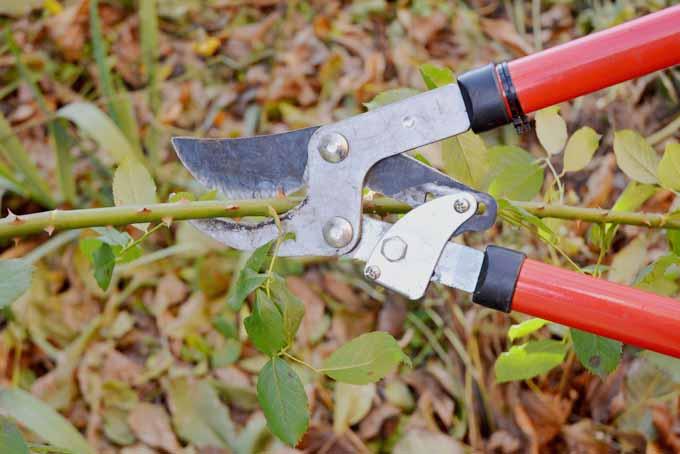 How To Prune Roses Like A Pro | GardenersPath.com