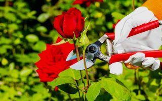 5 Tips for Pruning Roses Like a Pro