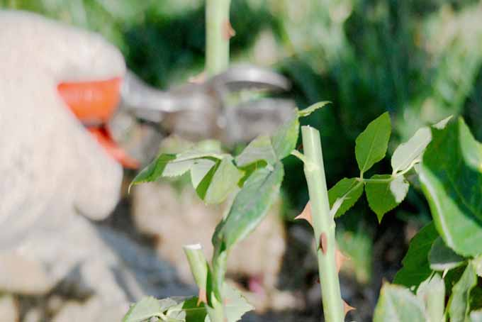 5 Easy Tips for Pruning Roses | GardenersPath.com