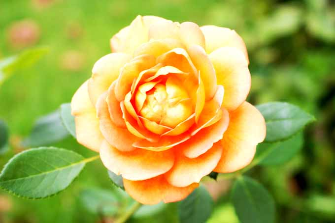 Easy Tips on Pruning Roses | GardenersPath.com