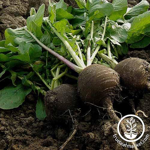 Black Spanish Round Seed | GardenersPath.com