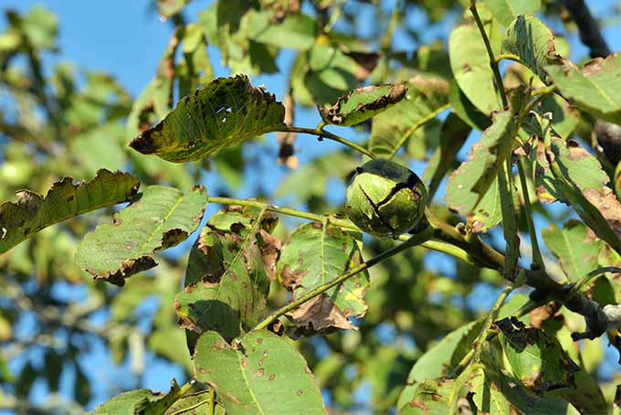 Beloved black walnuts may be a threat to the health of other plants. | GardenersPath.com