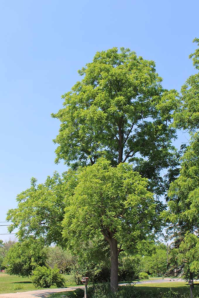 Juglone toxicity caused by black walnut trees can be a threat to other plants. Do you know which ones are at risk? Read more: https://gardenerspath.com/plants/landscape-trees/black-walnut-juglone-toxicity/