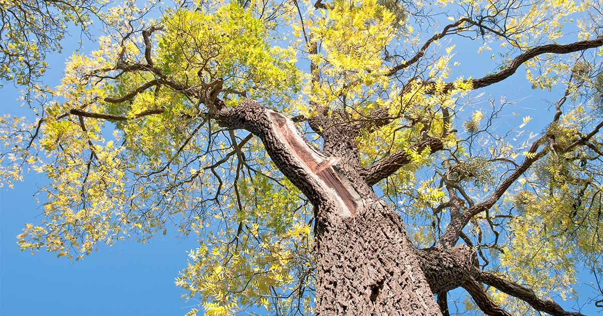 how much money does a walnut tree make