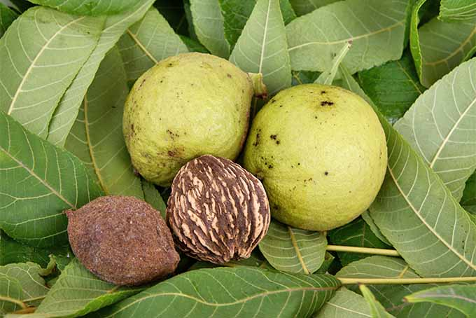 A chemical from the black walnut can be toxic to other plants. | GardenersPath.com