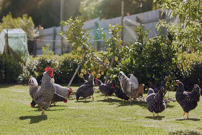 Learn from our expert as to whether it's a good idea to have chickens in the garden | Gardener's Path