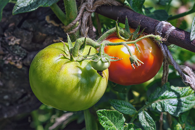 Unless you want chickens eating all your tomatoes, you might not want to put the birds in your garden | Gardener's Path