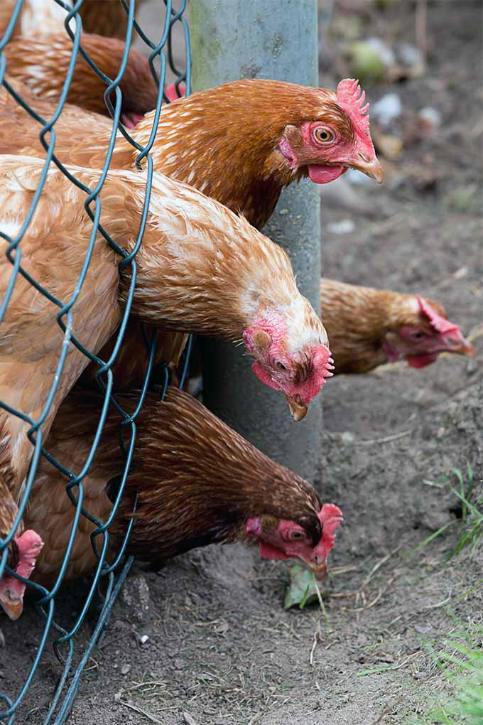 Contrary to popular belief, it's not always a chickens in the garden. Learn more from our expert: https://gardenerspath.com/how-to/animals-and-wildlife/chickens-help-garden/