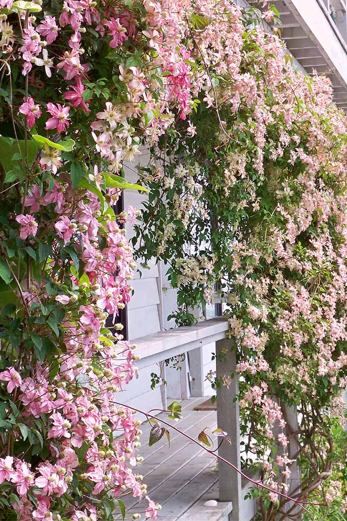 Learn how the payoff is worth the effort when it comes to clematis | GardenersPath.com