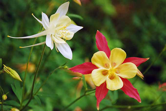 We don't recommend you try to divide columbine perennial plants | Gardener's Path