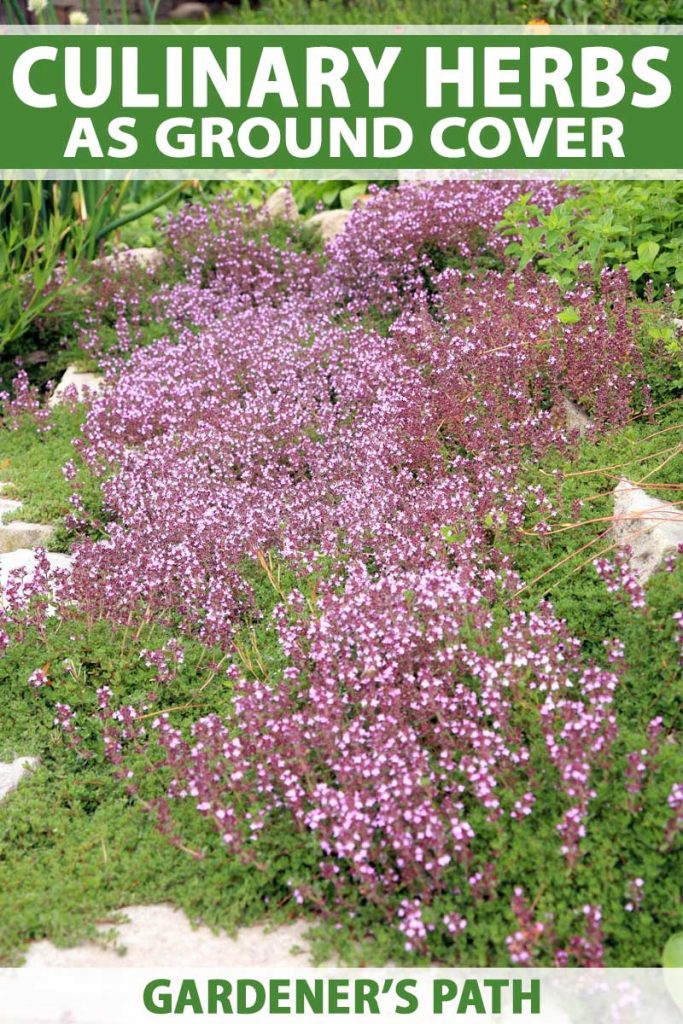 Close up of Breckland thyme in bloom and being used as a ground cover among paths and rock walls.